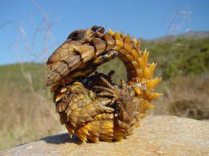 тернистий дракон