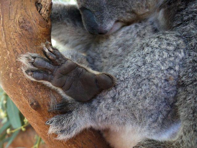відбитки пальців коали