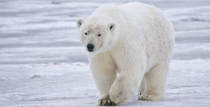 білий медвідь